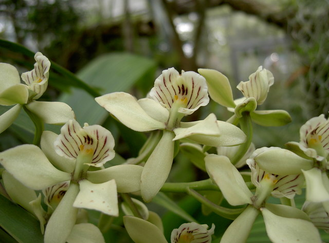 Humata heterophylla