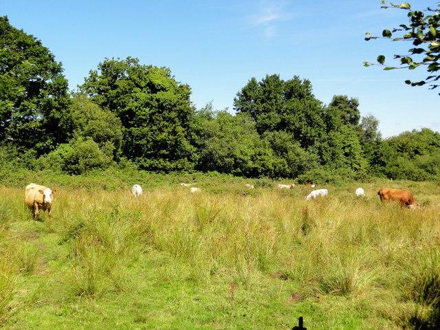 Cattle Grazing Valley Bottom Land