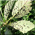 TG3203 : Leaf rust on bramble (Rubus fruticosus) by Evelyn Simak