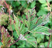 TG3204 : Leaf galls on meadowsweet ((Filipendula ulmaria) by Evelyn Simak