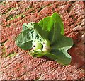 TG3203 : Galls on oak leaf by Evelyn Simak