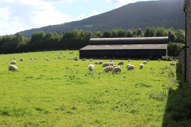 Sheep grazing at Red Barn Farm