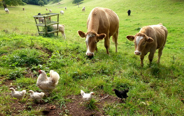 Cattle and Chicken