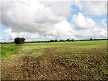TG1301 : Cereal crop north of Ketteringham Road by Evelyn Simak