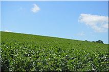 TL5135 : Crops by the Saffron Trail by N Chadwick