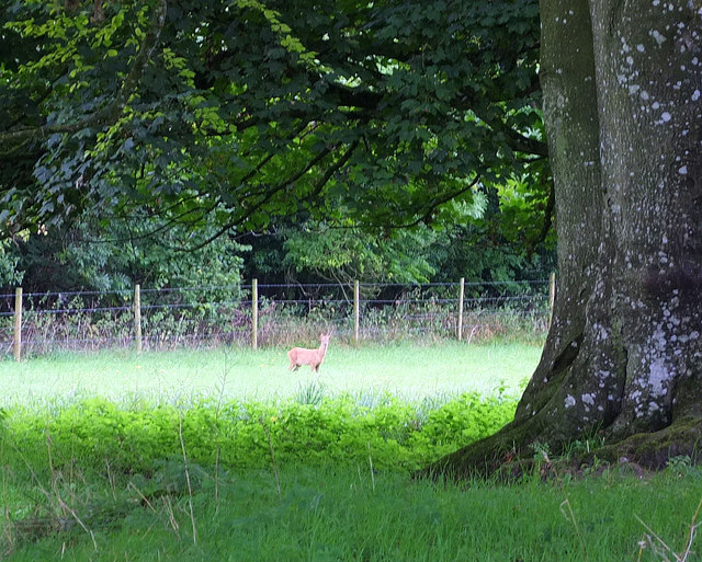 Deer in field at Colloway Clump