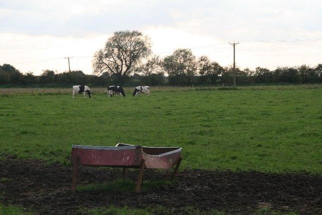 Cattle grazing on Horsington Holmes, Lady's Hole Bridge