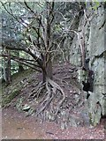 SK2957 : Tree on rocks in grounds of Willersley Castle by David Smith