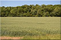 TL5334 : Wheat field by N Chadwick