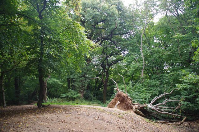 Fallen Hornbeam on Pole Hill