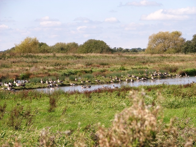 Canada and greylag geese at Strumpshaw Common