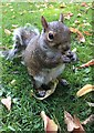 SK3386 : Grey squirrel in the Botanical Gardens by Graham Hogg