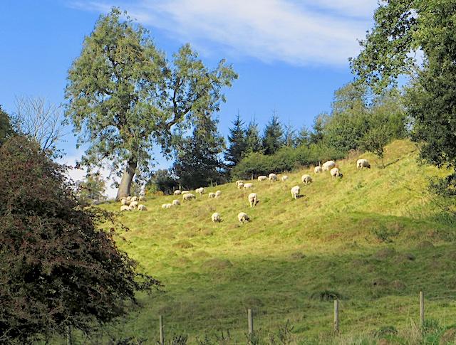 Sheep on a hillside near Kirkham