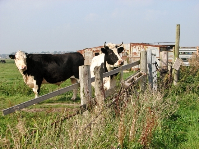 Bullocks in the marshes