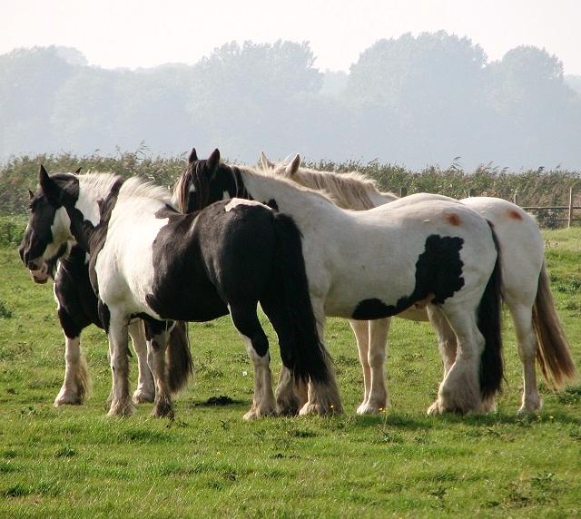 A group of piebald ponies