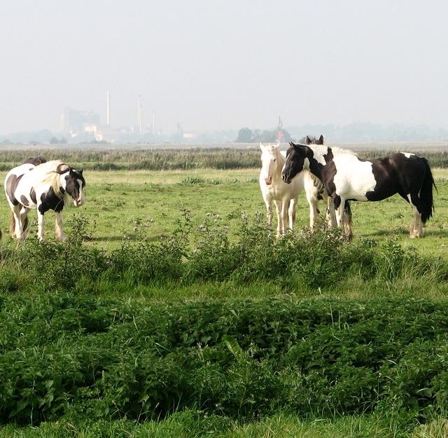 Ponies south of Reedham