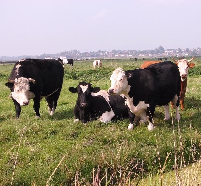 Bullocks taking it easy