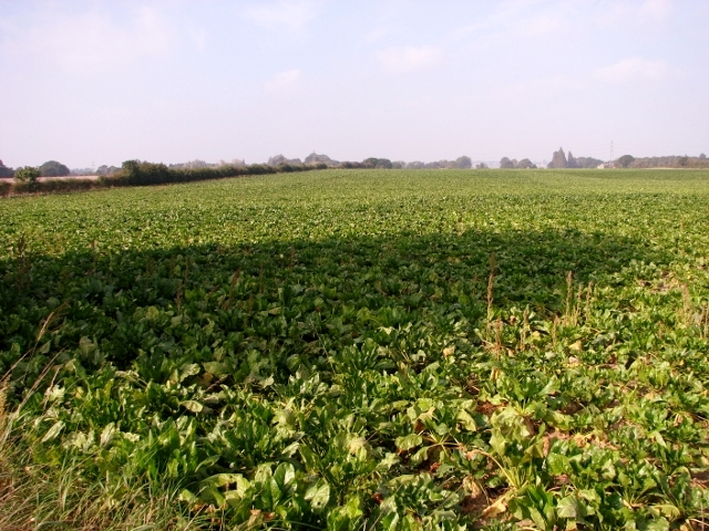 Sugarbeet crop field by Thurlton