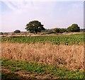 TM3998 : Sugarbeet crop field by Beacon Farm by Evelyn Simak