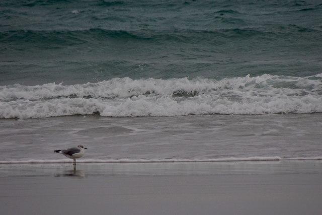 Common Gull (Larus canus) on Easting beach