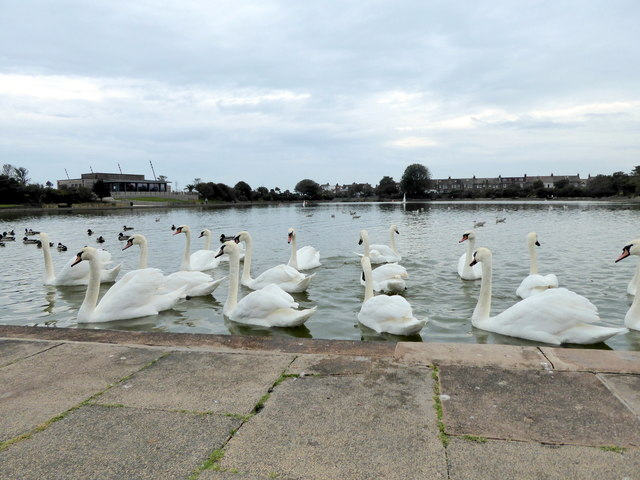 Mute Swans on Lake in Princes Park