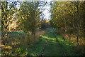 TM4458 : Path through birch plantation, south of Chapel Farm by Christopher Hilton