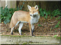 NS2071 : Garden fox by Thomas Nugent