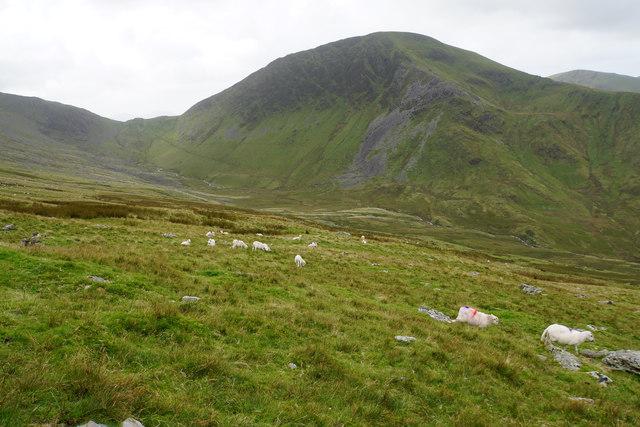 Sheep above Cwm Brwynog