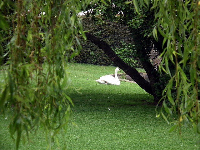 A swan rests on the lawn by St Mary's Church