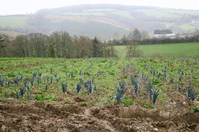 A Field of Leeks