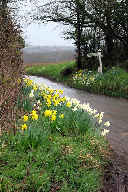 Daffodils at the Junction