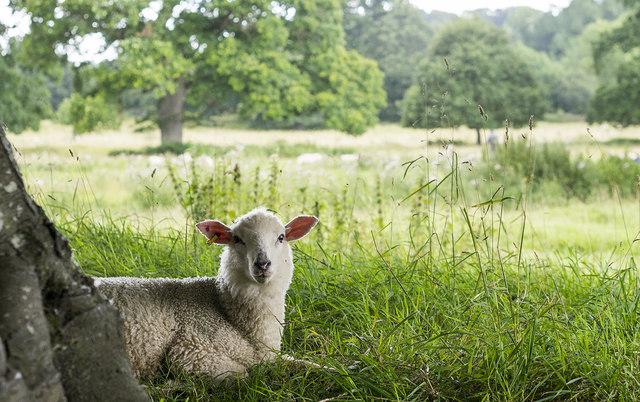 Sheep, Montacute Park