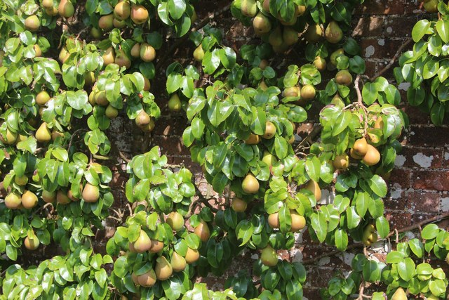 Pears at Pashley Manor Gardens