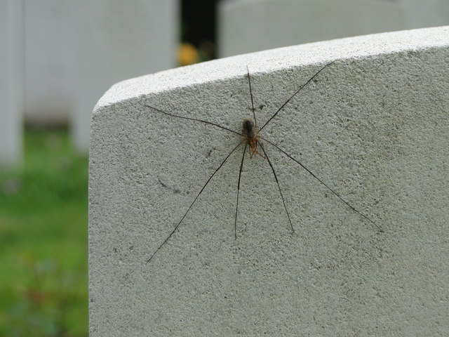 Seven legged harvestman