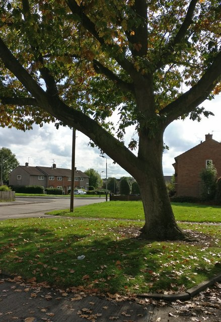 Tree at Hesketh Close in Eyres Monsell, Leicester