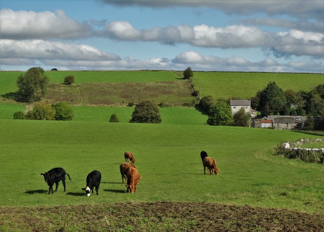 Cattle grazing south of the A5012