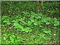 TQ8013 : Herb Paris in Maplehurst Wood, Baldslow by Patrick Roper