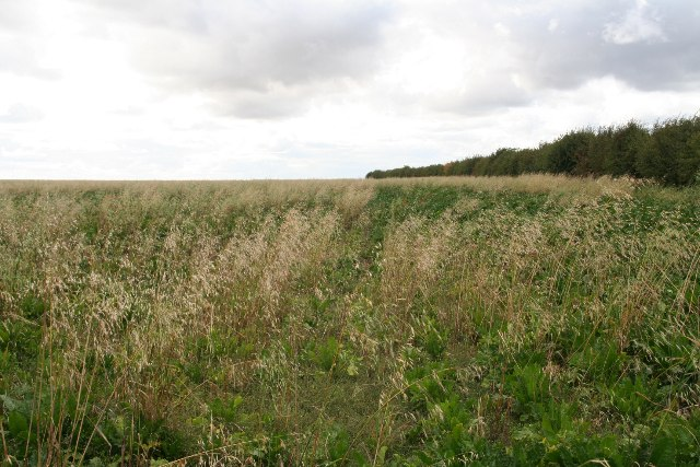 Sugar beet and wild oats on Bigby Top