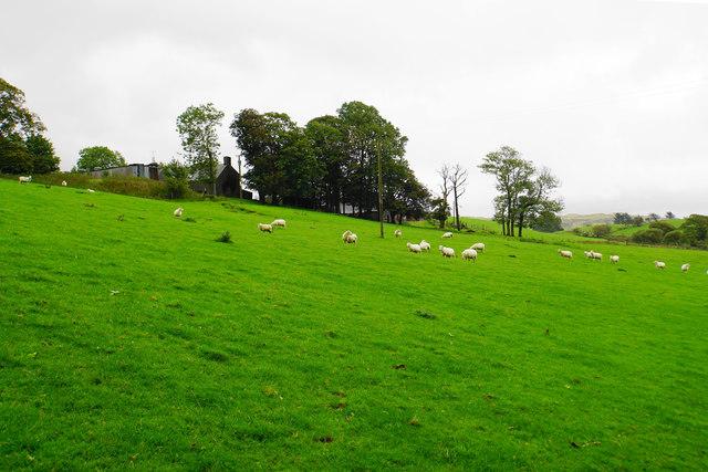 Sheep below Llwyn-crwn