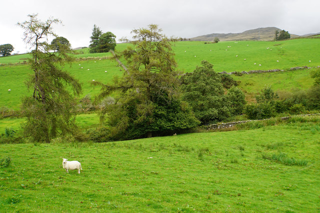 Sheep above Nant Islyn