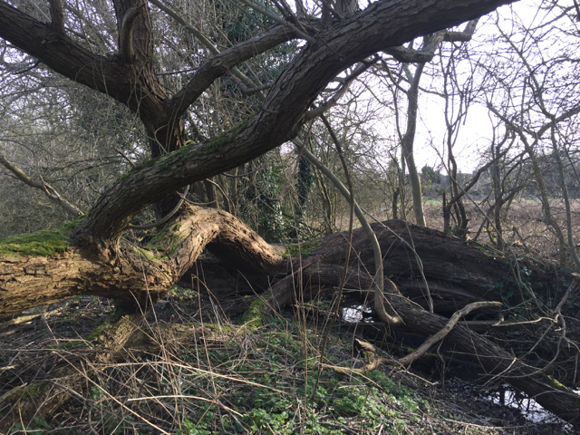 Collapsed willow on the boundary of Myton Fields, Warwick