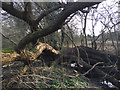 SP2965 : Collapsed willow on the boundary of Myton Fields, Warwick by Robin Stott
