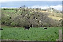 SX4563 : Cattle in a field by N Chadwick