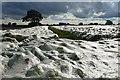NZ2286 : Crop under netting near Shadfen Park : Week 39