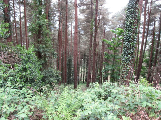 Ivy infested trees in Annaloughan Wood