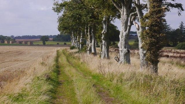 Beeches, Arbikie Moor