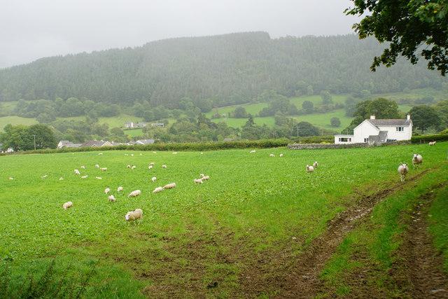 Sheep near Ty'n-y-fâch