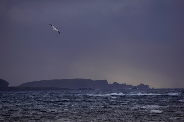 Gannet flying past Westing