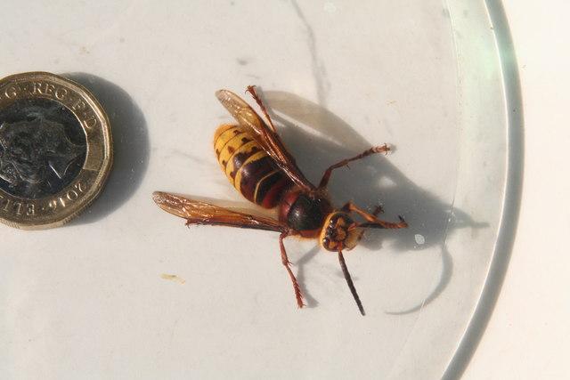 European Hornet in a house in Yarburgh