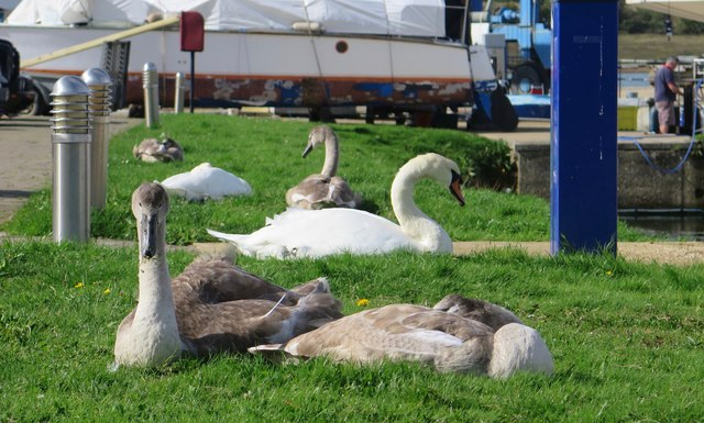 Family of swans, Island Harbour